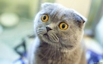 Surprised Scottish Fold