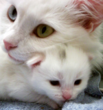 Sweet Turkish Angora family