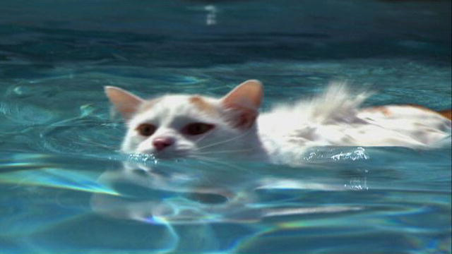Swimming Turkish Van wallpaper