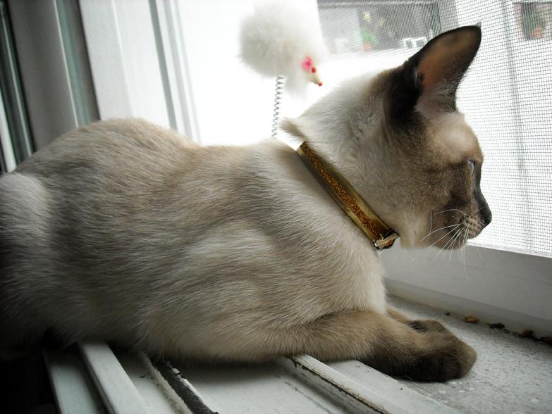 Thai cat near the window wallpaper