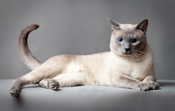 Портрет Тайской кошки фото
