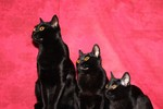 Three Bombay cats