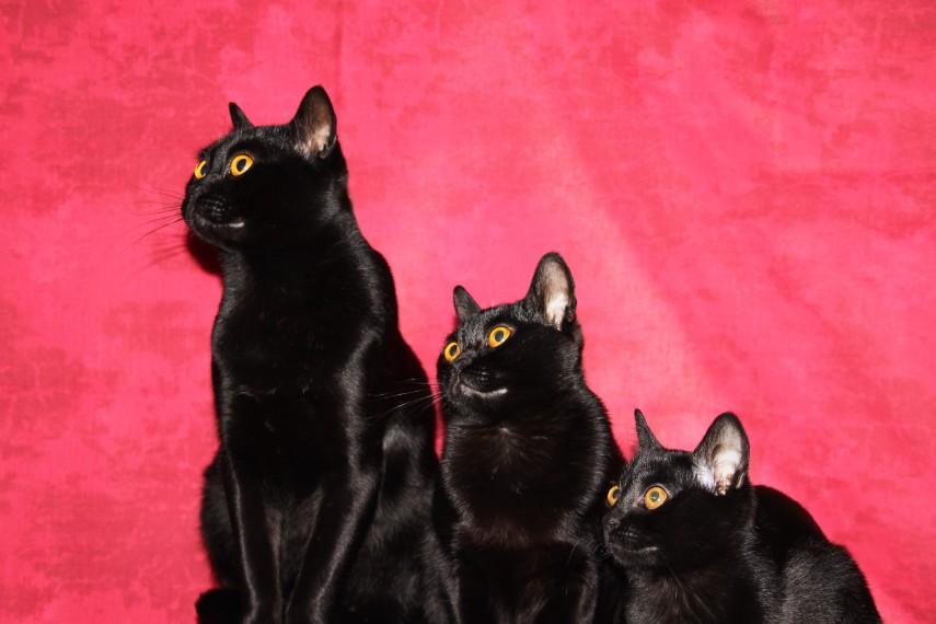 Три Бомбейских кошки фото