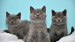 Three British Shorthair