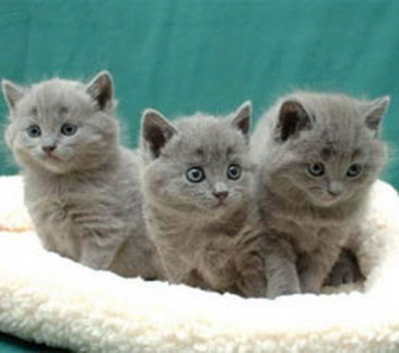 Three Chartreux kittens wallpaper