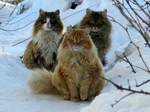 Three Norwegian Forest Cats winter