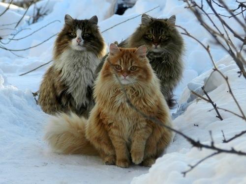 Три Норвежские лесные кошки зимой фото