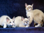Three Snowshoe cats