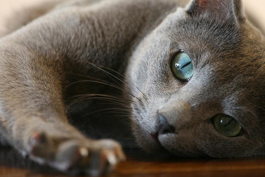 Уставшая Русская голубая кошка фото