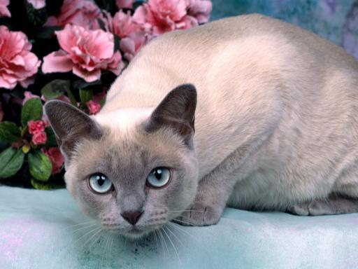 Тонкинская кошка и цветы фото