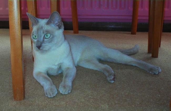 Тонкинская кошка под столом фото