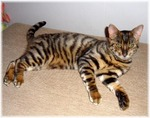 Toyger cat on the floor