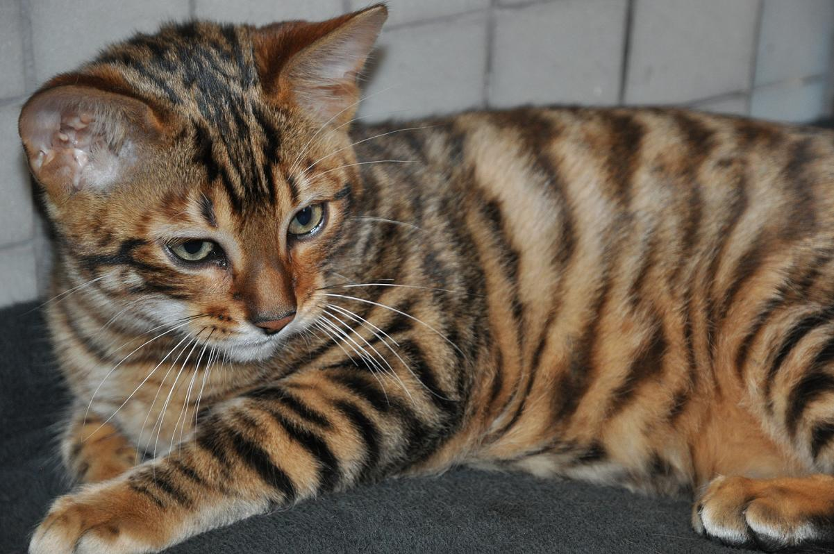 Cat That Looks Like Tiger Striped