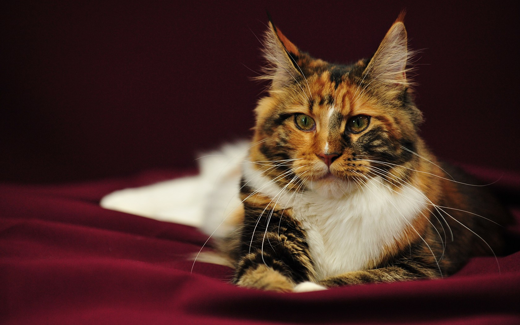 Tricolor Maine Coon  wallpaper
