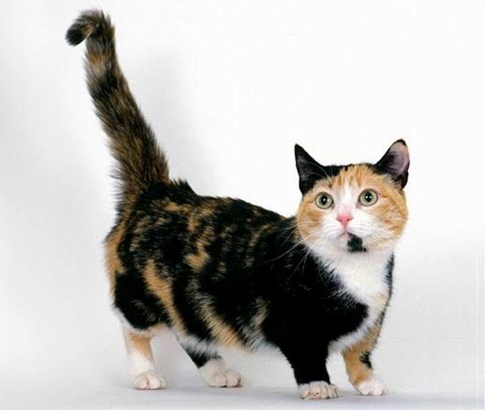 Трехцветный кот породы Манчкин фото