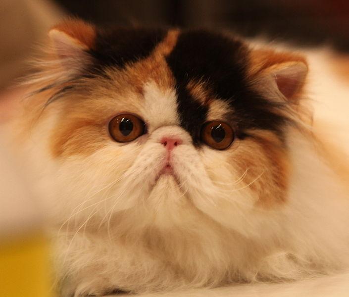 Tricolor Persian cat wallpaper
