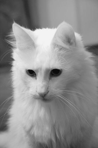 Черно-белое изображение Турецкой Ангоры фото