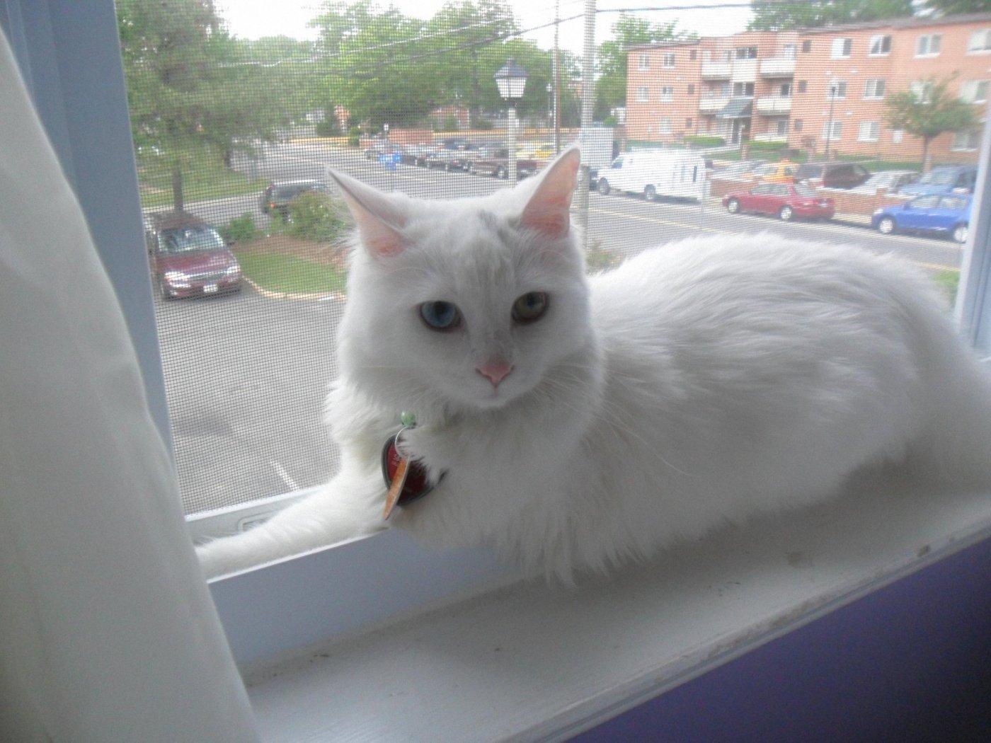 Turkish Angora on the windowsill wallpaper