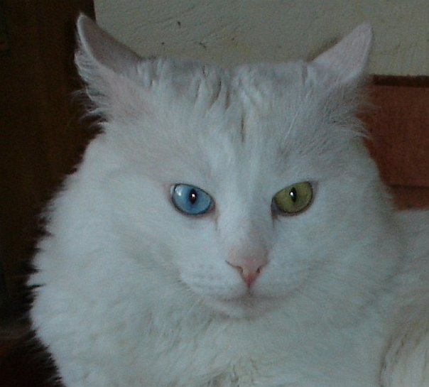 Turkish Angora wallpaper