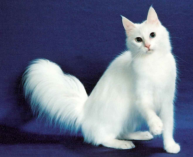 Turkish Angora portrait wallpaper