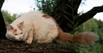 Turkish Van in nature
