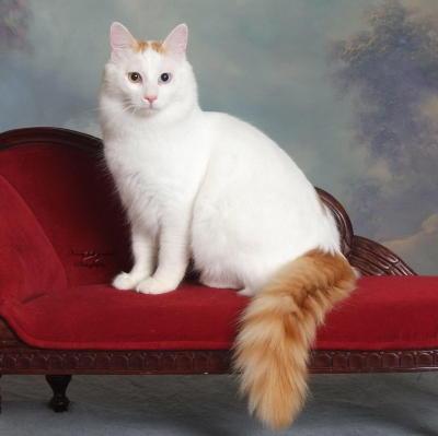 Турецкий Ван на стуле фото