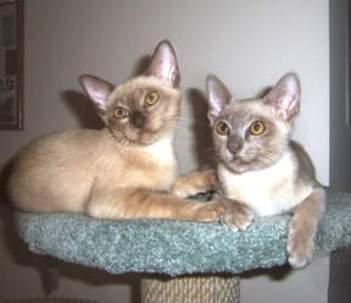 Two Burmese cats wallpaper