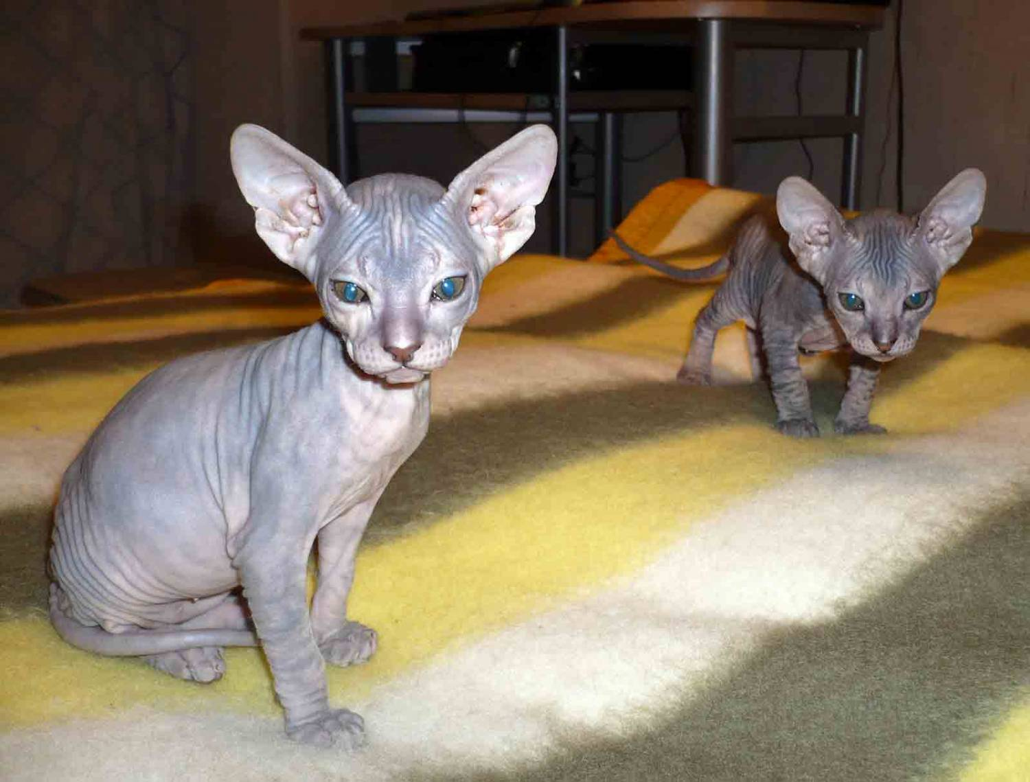 Two Donskoy or Don Sphynx wallpaper