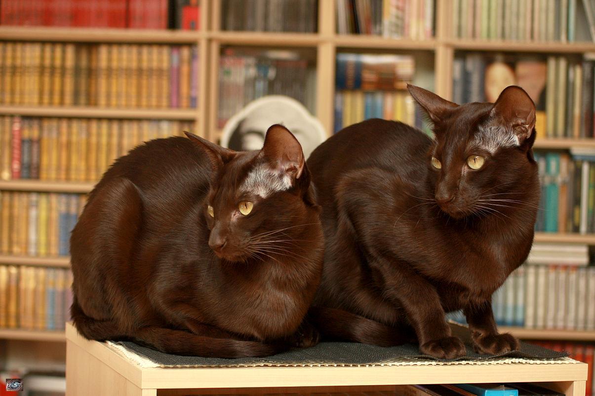 Два кота породы Гавана фото