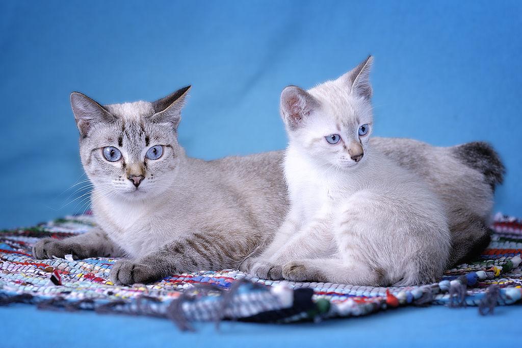 Два кота породы Меконгский Бобтейл фото
