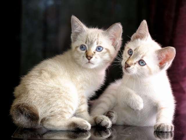Two Mekong bobtail kittens wallpaper