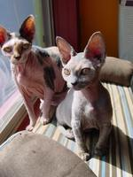 Two Minskin cats