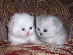 Two Napoleon kittens