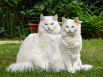 Two Norwegian Forest Cats