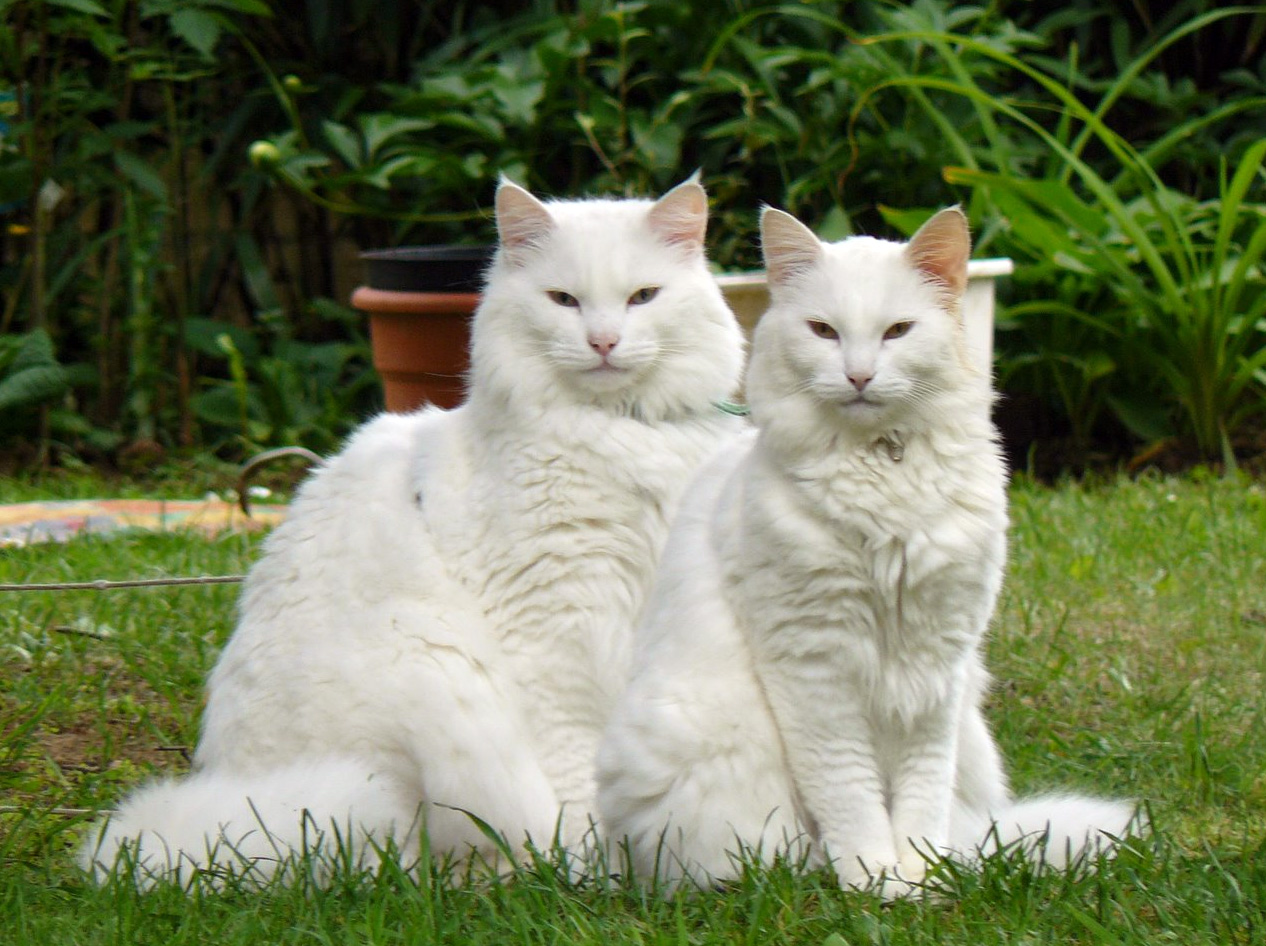 Two Norwegian Forest Cats wallpaper