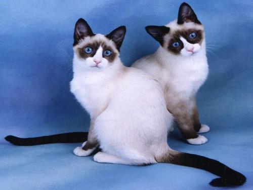 Два кота породы Сноу-шу фото