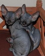 Two Sphynx kittens