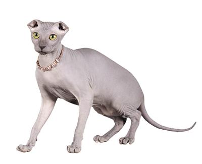 Портрет кота породы Украинский Левкой фото