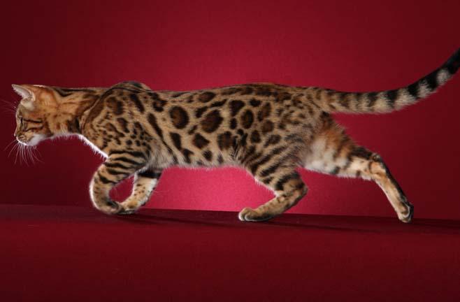 Бенгальская кошка гуляет фото