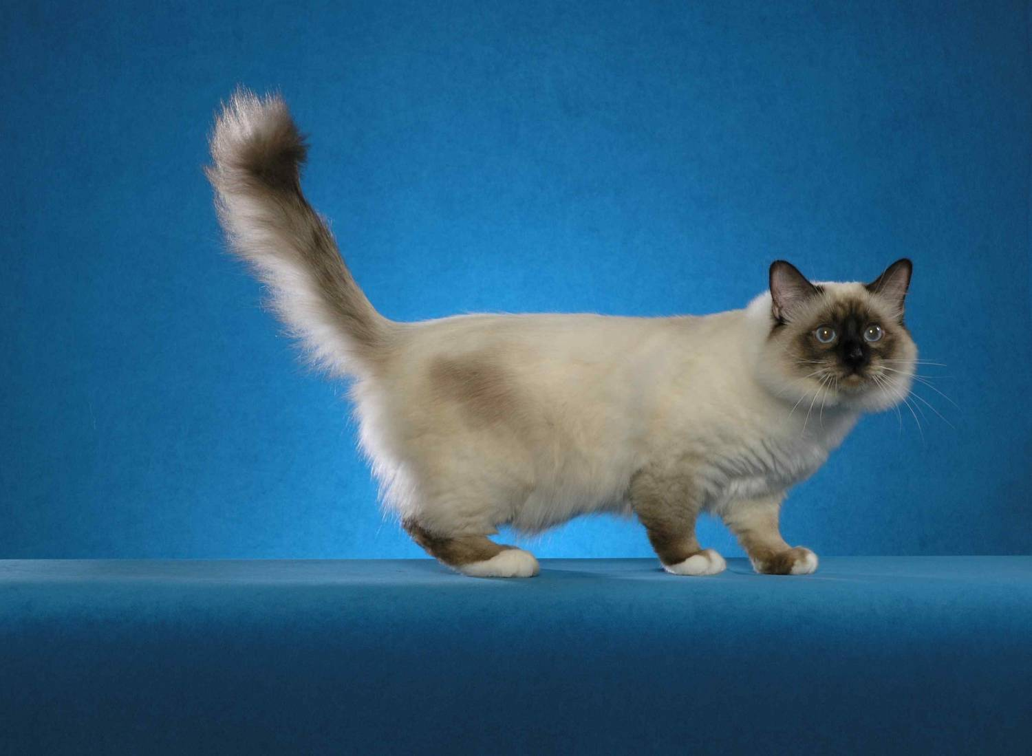 Walking Birman cat wallpaper
