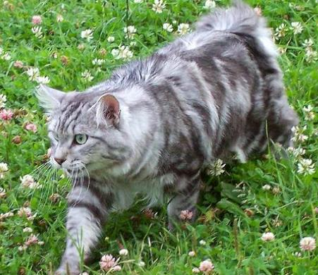 Walking Kurilian Bobtail  wallpaper