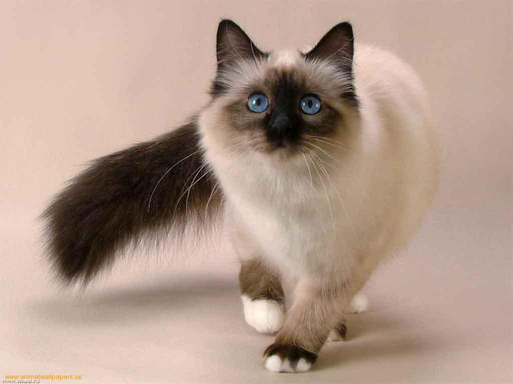 Идущий Сиамский кот фото