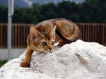 Watching Abyssinian cat