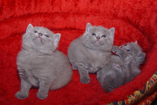 Watching Chartreux kittens wallpaper