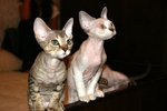 Watching Devon Rex