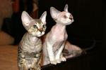 Девон-рекс коты наблюдают