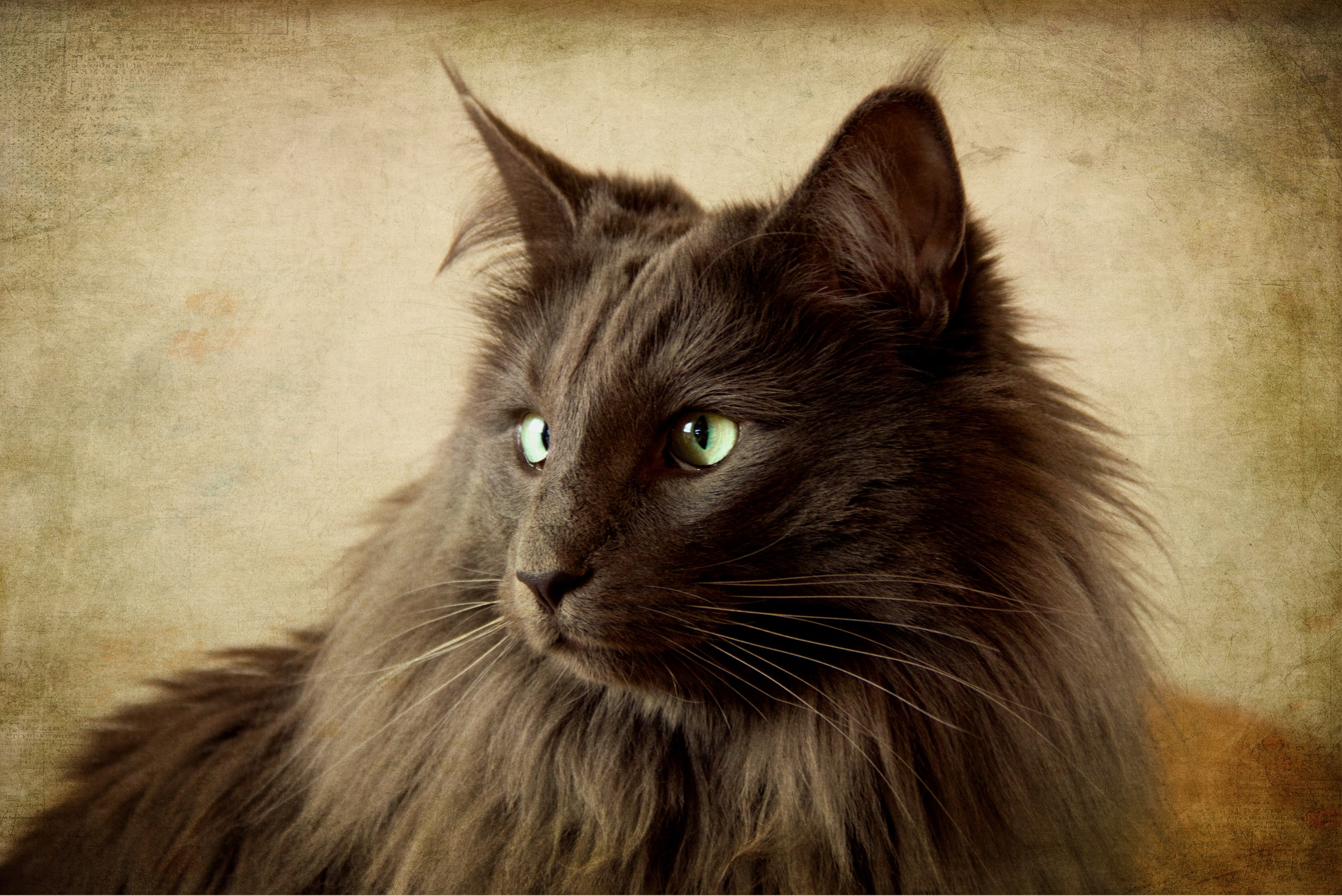 Watching Nebelung  wallpaper