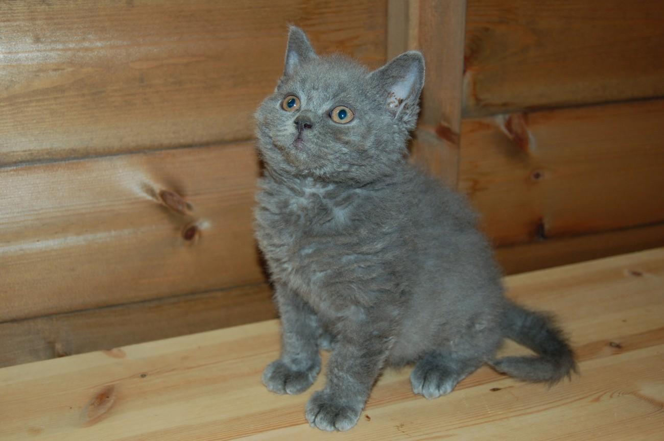 Watching Selkirk Rex kitten wallpaper
