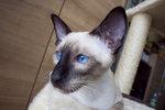 Сиамский кот наблюдает