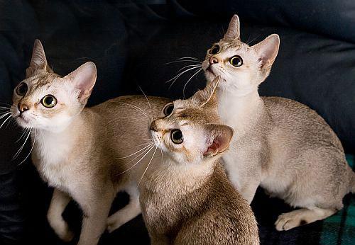 Котята породы Сингапура наблюдают фото
